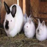 Californian Rabbit Manufacturers
