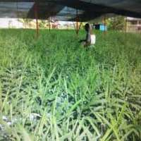 Tissue Cultured Plant Importers