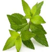 Green Tea Leaves Manufacturers