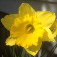 Daffodil Flower Manufacturers