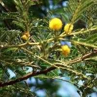 Acacia Arabica Manufacturers