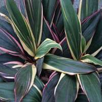 Cordyline Plant Manufacturers