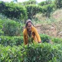 Tea Plucker Manufacturers