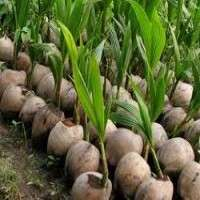 Coconut Seedlings Manufacturers