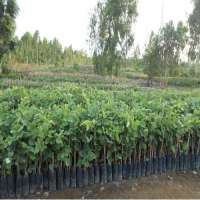 Red Sandalwood Plants Manufacturers