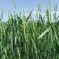 Forage Crops Manufacturers