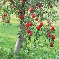 Apple Plant Manufacturers