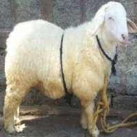 Bannur Sheep Manufacturers
