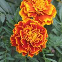 Marigold Flower Importers