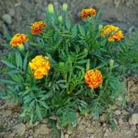Marigold Plant Manufacturers
