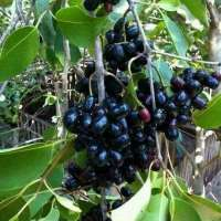 Jamun Plant Importers