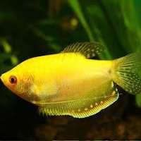 Gourami Fish Manufacturers