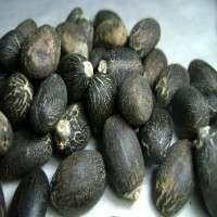 Jatropha Seeds Manufacturers