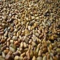 Cassia Tora Seeds Manufacturers