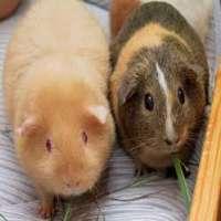 Guinea pig Manufacturers