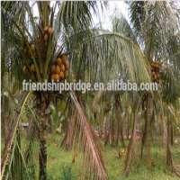Coconut Seedlings