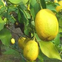 Citron Lemon Interdonato Lamas Lemon