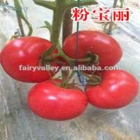 有机番茄种子