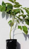Grafted walnut trees Juglans Regia