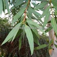 Eucalyptus Oil Beard